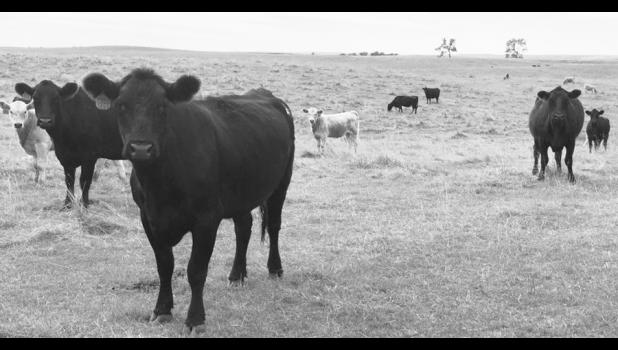 South Dakota News Watch South Dakota ranchers are seeing current and future prices fall rapidly for cattle they are feeding now. These cattle were grazing in a pasture east of Miller in Hand County.